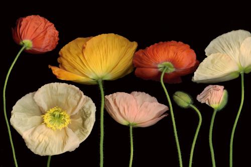 Poppy Garden I by Pip Bloomfield