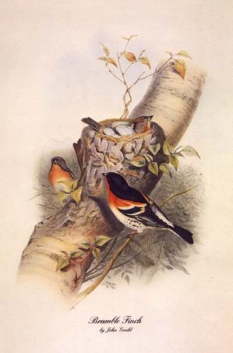 Bramble Finch by John Gould