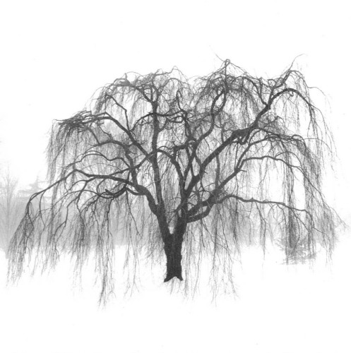 Old Willow Tree Drawing Weeping Tree by Harold
