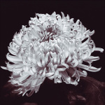 Chrysanthemum art print