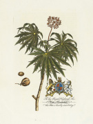 The Duke Of Cumberland Botanical art print
