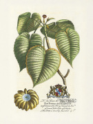 The Duke Of Dorset Botanical art print