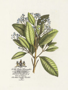 The Earl Of Halifax Botanical art print
