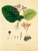 Unpublished East Indian Plants I art print