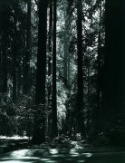 Redwoods, Founders Grove art print