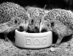 Hedgehogs Eating giclee art print