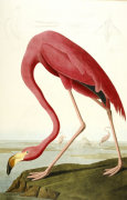 American Flamingo. 'The Birds Of America', From Original Drawings giclee art print