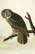 Great Cinereous Owl.'The Birds Of America', From Original Drawings giclee art print