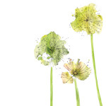 Allium giclee art print