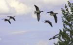 Greylag Geese In Flight giclee art print
