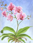 Pink and White Moth Orchid giclee art print