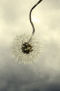 Dandelion in the Clouds giclee art print