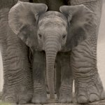 Big Ears (Baby Elephant) art print