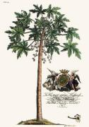 Palm Pl.14 Male Papaya Tree (Restrike Etching) art print