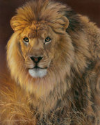 Power and Presence- African Lion giclee art print