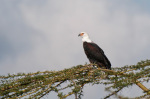 African Fish Eagle (Haliaeetus vocifer), Loisaba Wilderness Conservancy, Laikipia, Kenya giclee art print