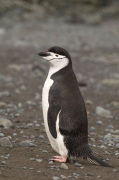 Chinstrap Penguin, Aitcho Island, South Shetland Islands, Antarctica giclee art print