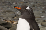 Gentoo Penguin, Aitcho Island, South Shetland Islands, Antarctica giclee art print