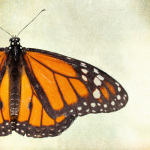 Monarch giclee art print