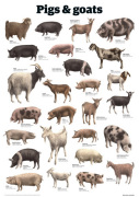 Pigs and goats giclee art print