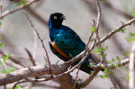 Superb Starling (Lamprotornis superbus), Samburu National Park, Kenya giclee art print