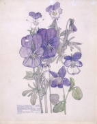 Wild Pansy and Wood Violet giclee art print