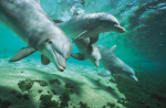 Bottlenose Dolphins, Hawaii art print
