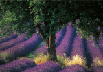 Provence art print
