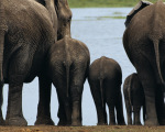 �l�phants, Kenya art print