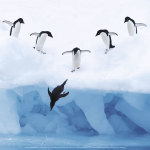 Penguins jumping into water art print