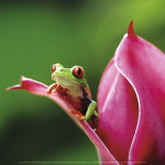 Red-eyed tree frog, Costa Rica art print