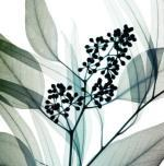 Eucalyptus art print