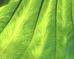 Banana Leaf (Detail) giclee art print