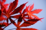 Red Japanese Maple giclee art print