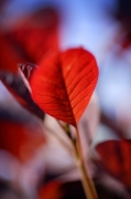 Red Leaves II giclee art print