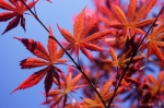 Red Maple Leaves giclee art print