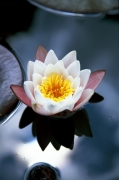 Waterlily I giclee art print