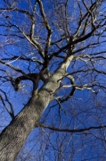 Winter Tree giclee art print