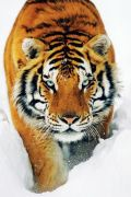 Tiger snow art print