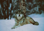 Grey Wolf, Minnesota art print