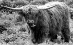 A Highland cattle giclee art print