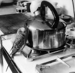Budgie in the kitchen giclee art print