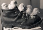 Chicks in a boot giclee art print