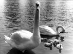 Family of swans giclee art print