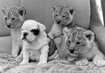 Sue the bulldog is flanked by three lion cubs giclee art print
