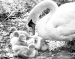 Swan and cygnets, 1982 giclee art print
