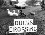 These ducks have their own road sign giclee art print