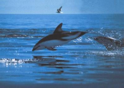 Dusky Dolphins, Patagonian Coast